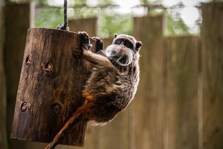 Prachtige Snor - Dit was 'DE' aap die ik graag wou vastleggen. Vind hem zo geweldig met zijn prachtige snor.