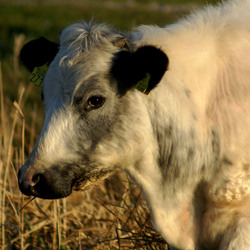 Jonge koe in het Twiske