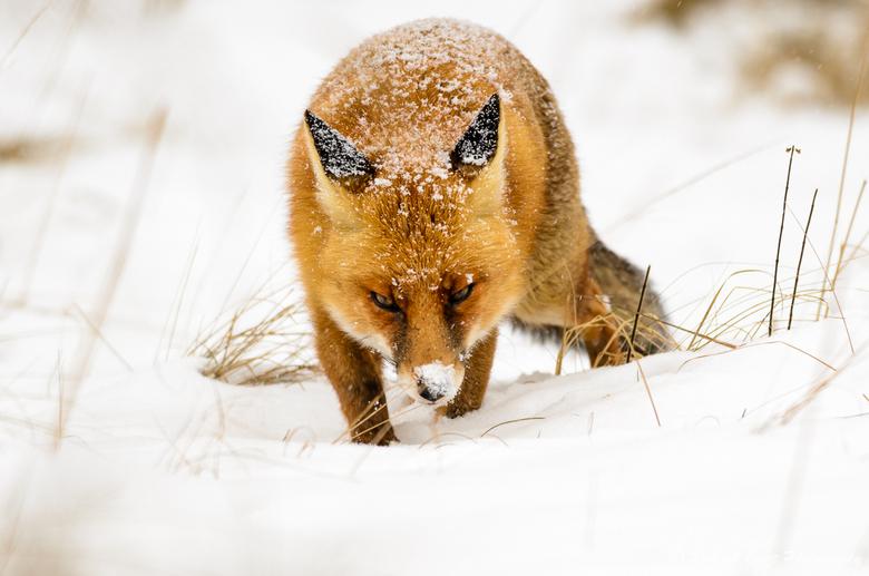 Vos in de sneeuw - Vos (Vulpes vulpes) tijdens een sneeuw bui