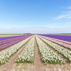 Texel heeft zijn eigen Keukenhof in de Prins Hendrik polder  ;-)