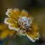 Rijp op een gele bloem