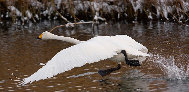 Lopen op het water - Opstijgende wilde zwaan in de AWD, het duurt toch een redelijke tijd voordat ze echt &quot;airborne&quot; zijn.<br /> <br /> To