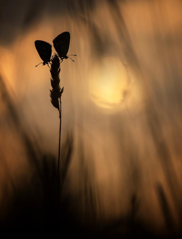 Burning sunrise - Twee Icarusblauwtjes in het licht van de opkomende zon. Dank voor jullie reactie's op 'Spread your wings and fly'. Gr