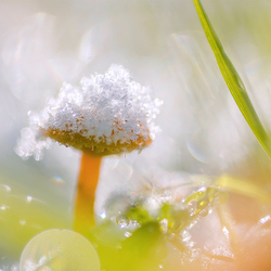 Snowy mushroom