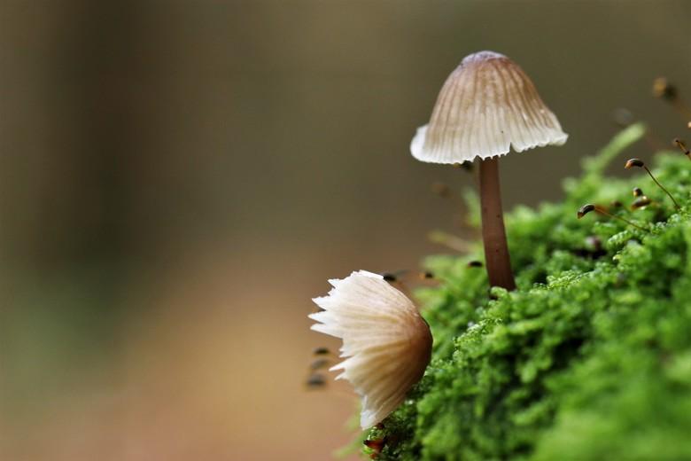 breekbaar - klein en breekbaar zijn deze paddenstoelen<br /> 19-11-2019