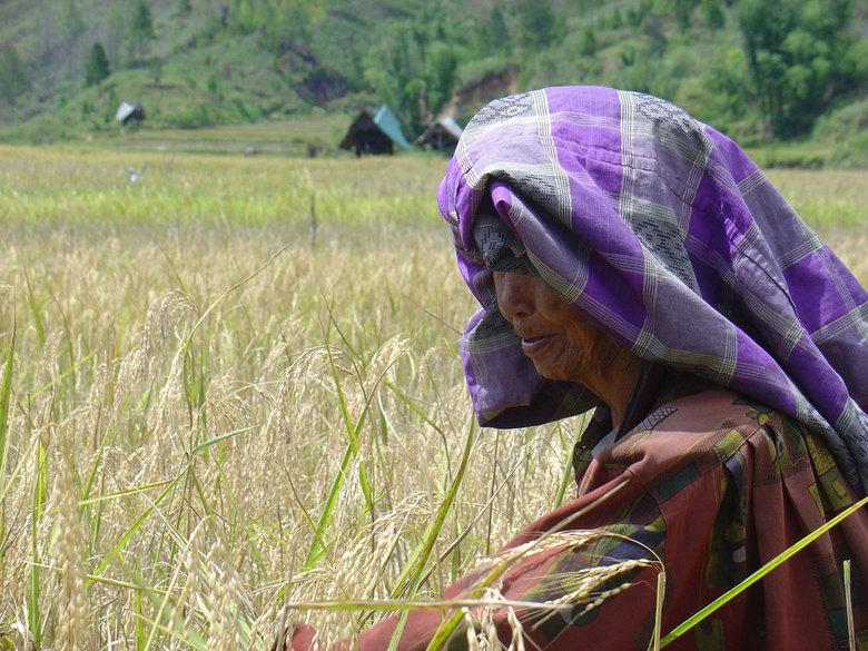 vrouw in rijstveld - vrouw in rijstveld in Indonesië bezig met rijstaren plukken