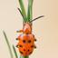 Rode aspergekever - Crioceris duodecimpunctata