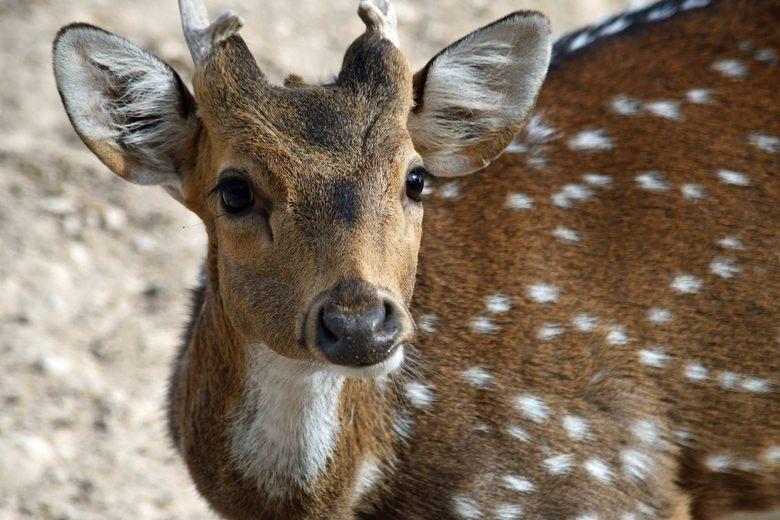 Alert - In Terra Natura, Benidorm, Spanje zijn alle dieren per continent gehuisvest. Axisherten zijn een Aziatische soort. Deze herten staan hoog op h