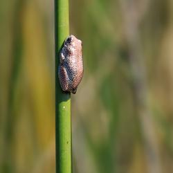 Freckled Frog