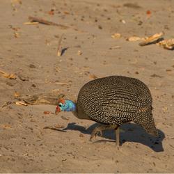 Helmeted Guineafowl Botswana