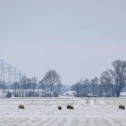 Polder schapen