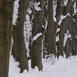 dikke bomen in de winter
