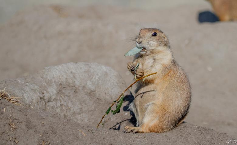 Prairiehondje - Ik blijf het koddige diertjes vinden, de prairiehondjes.<br /> <br /> Dank jullie voor de fijne reacties op mijn vorige foto, ben ik
