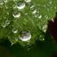 Vrouwenmantel met regendruppels