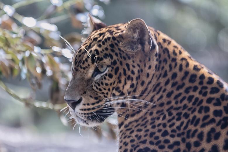 Sri Lanka panter - portret -