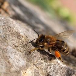 Honingbij  Apis mellifera
