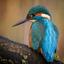 Ijsvogeltje