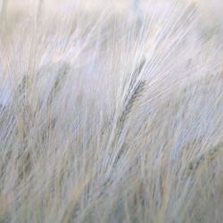 het graan