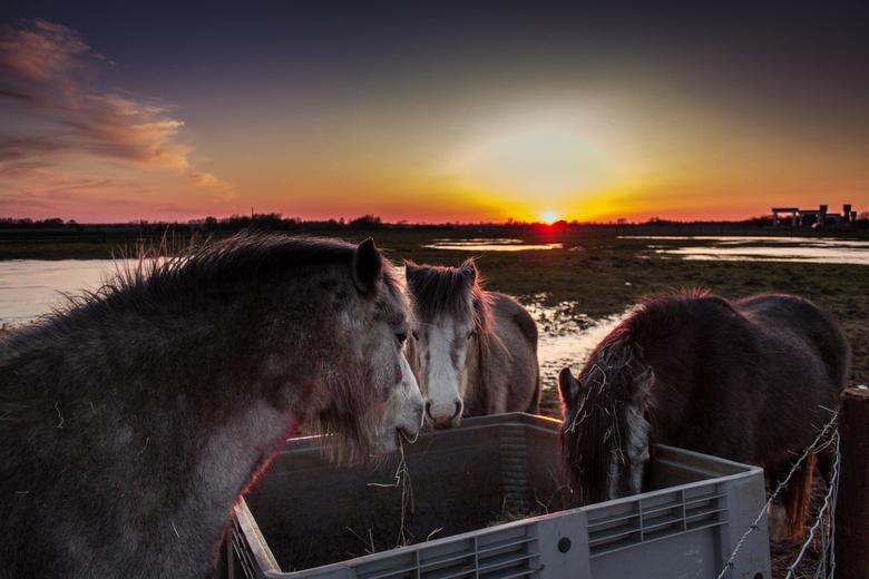 Sunset dining - Paarden aan de dijk in Wijk bij Duurstede die nog wat eten voordat de maan en zon van dienst wisselen.