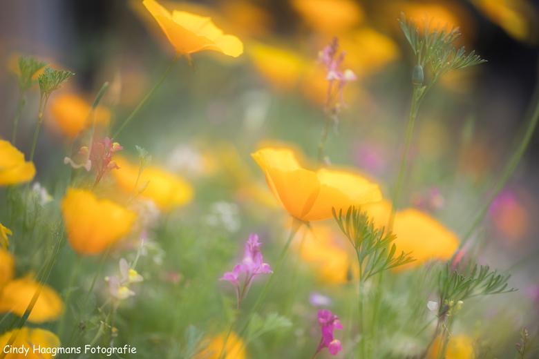 Tuinbloemen -