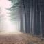 Foggy Forrest