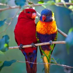 Papegaai paartje