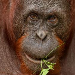 Orangutan portret