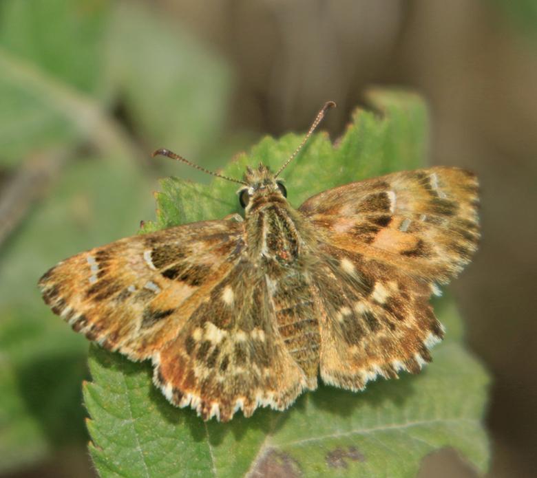 2019-10-04_0899-kaasjekruit dikkopje - kaasje kruit vlinder Dikkopje