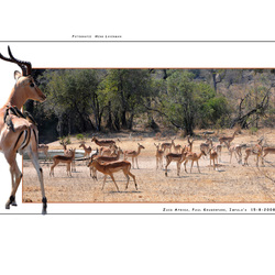 Impala's Paul Krugerpark