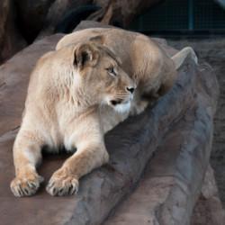 Leeuw dame