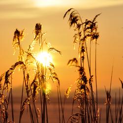Riet met zonsopgang
