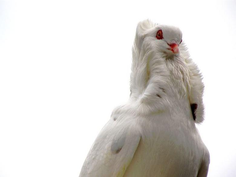 Trotse duif - Witte duif, genomen bij een kinderboerderij... tamelijk goed gelukt vindt ik zelf...