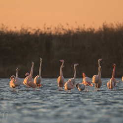 Flamingo's in Nederland
