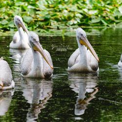 Pelikanen op een rij
