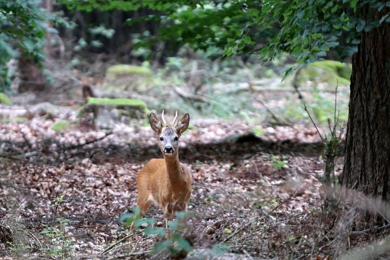 Ooh in oog met een jonge reebok. - Tijdens een mooie boswandeling gespot. Reebok.