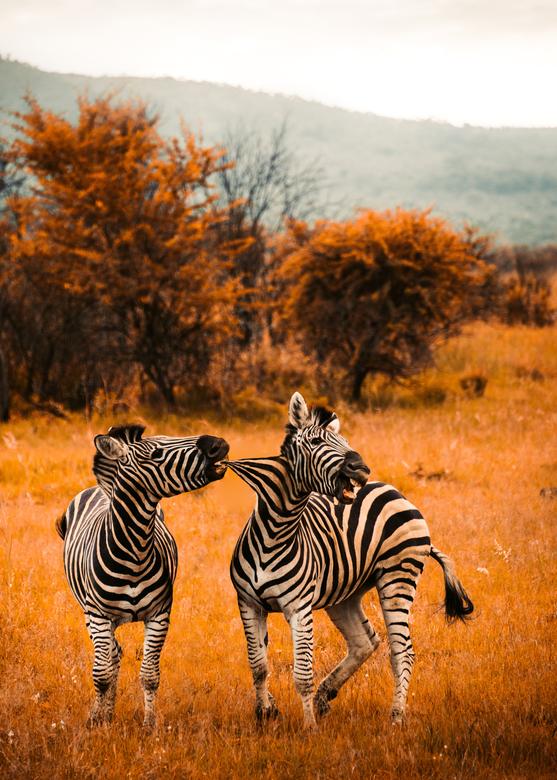 Zebra,s met ruzie -