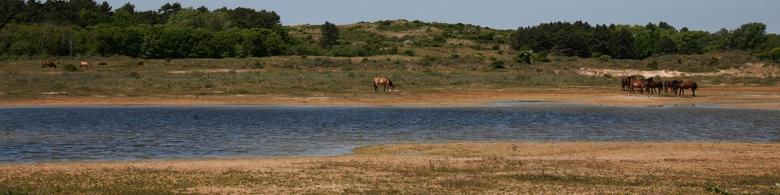 IMG_2675 - Wilde paarden in het duingebied.