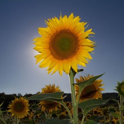 zonnebloem zm