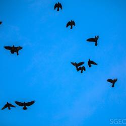 Zwarte vogels - blauwe lucht