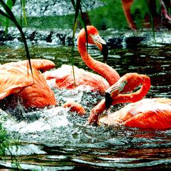 Bathing Flamingo's