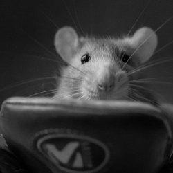 rat in schoen II