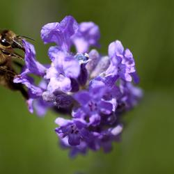 Bijtje op Lavendel