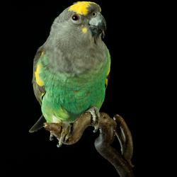 Meyer papagaai