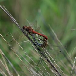 Parende Libellen