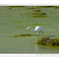 Great Egret 2, Kenia