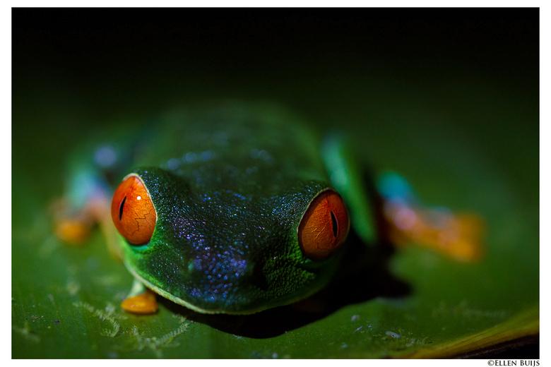Roodoogkikker @ Costa Rica -
