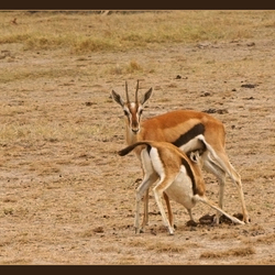 Zogende Thomson gazelle