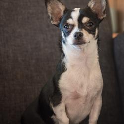 Chihuahua Pip