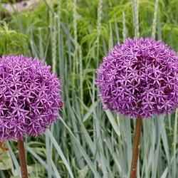 De Allium Globemaster