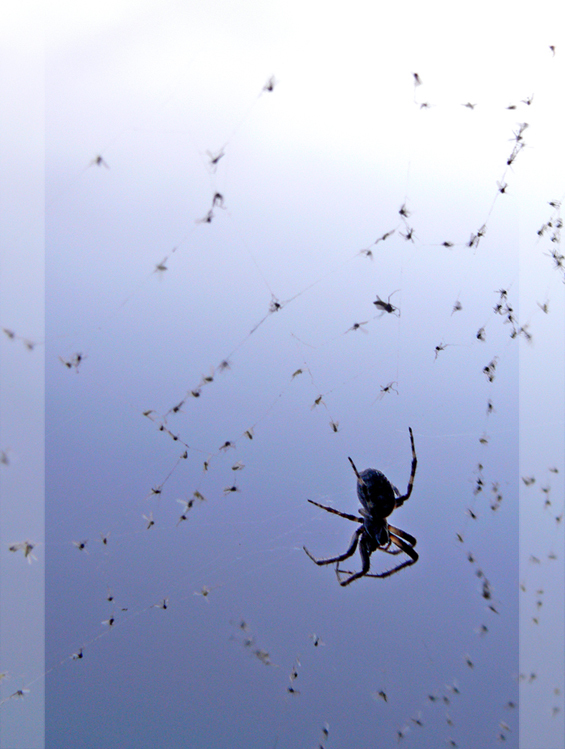 Hapjes - Deze spin was slim en spinde zijn web bij het water, nu heeft hij er profijt van!